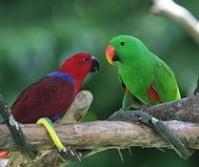 Ecletus Parrot