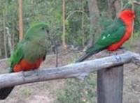 Kings Parrot