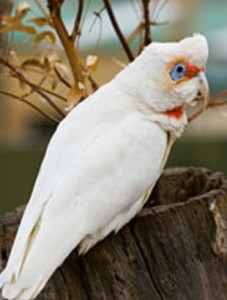 Eastern Long Billed Corella